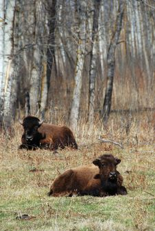 Free Two Bison Stock Photo - 5098060
