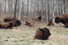 Free Bison Herd Royalty Free Stock Photo - 5098065