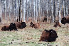 Free Bison Herd Stock Photo - 5098090