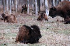 Free Bison Herd Royalty Free Stock Images - 5098099