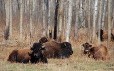 Free Bison Herd Royalty Free Stock Image - 5098106