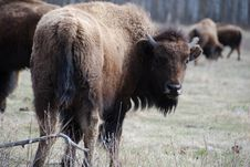 Free Bison Herd Royalty Free Stock Photos - 5098128