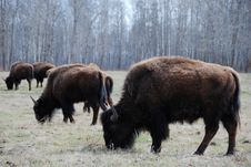 Free Bison Herd Stock Photo - 5098150