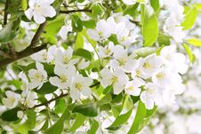 Free Apple Tree Blooming Royalty Free Stock Photography - 5098457
