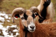Mouflon Stock Image