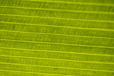 Free Leaf : Macro With Horizontal Lines Stock Photo - 5098900