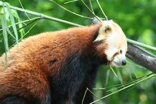 Free Red Panda Royalty Free Stock Images - 5099459