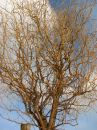 Free Corkscrew Tree Stock Photo - 511440