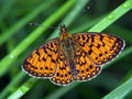 Free Butterfly Boloria Euphrosyne. Stock Photography - 516492