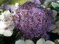 Free Hydrangea Royalty Free Stock Photo - 519845