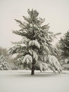 Free Frigid Pine Royalty Free Stock Photos - 510208