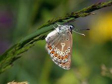 Free The Butterfly Of Family Lycaenidae. Stock Photography - 511222