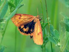 Free Butterfly Diacrisia Sannio Stock Images - 511234