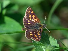 Free Butterfly Carterocephalus Palaemon. Royalty Free Stock Photography - 512387