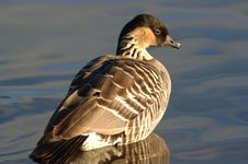 Free Hawaiinan Goose Stock Images - 513034