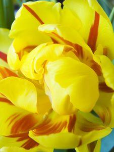 Free Opening Tulip Stock Image - 513531
