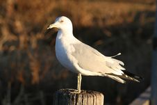 Free Classic Sea Gull Royalty Free Stock Image - 514236