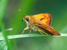 Free Butterfly Ochlodes Venatus. Royalty Free Stock Images - 515109
