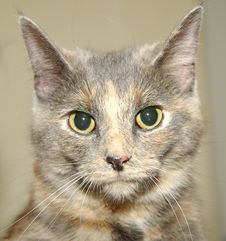 Free Dilute Calico Royalty Free Stock Photo - 515645