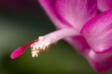 Free Christmas Cactus Stock Photo - 515650