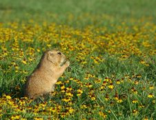 Free Prairie Dog In Flowers Royalty Free Stock Images - 516459