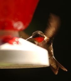 Free Humming Bird Feeding Stock Photos - 517903