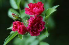 Free Tiny Roses Stock Image - 517911