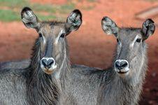 Free Waterbuck Female Pair. Stock Photos - 518883