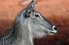 Free Waterbuck, Side View. Stock Images - 518884