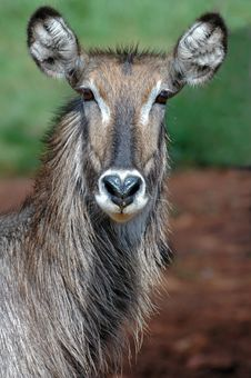 Free Female Waterbuck. Royalty Free Stock Photo - 518885