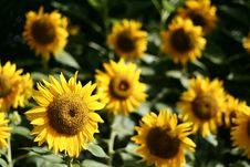 Free Sunny Side Up Stock Photo - 518970