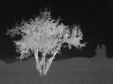 Free The White Tree Royalty Free Stock Image - 518996