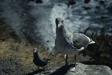 Free Gull Royalty Free Stock Photography - 519187