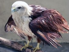 Free Wet Eagle Royalty Free Stock Photography - 519707