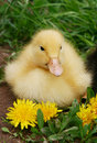 Free Small Duck And Yellow Flowers In The Afternoon Royalty Free Stock Photography - 5101907