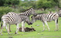 Free Herd Burchell S Zebras Stock Photos - 5103483