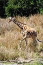 Free Giraffe Royalty Free Stock Image - 5106296