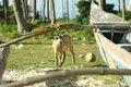 Free Billy Goat Beside Fishing Boat Stock Image - 5107011