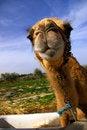 Free Camel Head Close Up In Desert Stock Photos - 5109933