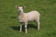 Free Lamb Royalty Free Stock Photos - 5100908