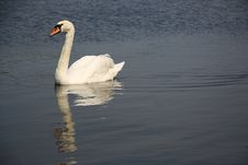 Free Mute Swan Stock Images - 5101034