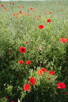 Free Poppies In Summer Field Royalty Free Stock Photography - 5101147