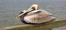 Free Yellow Head Pelican On Pier Stock Photo - 5101860