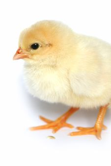 Free The Nice Small Yellow Goose On A White Background Royalty Free Stock Photo - 5101885