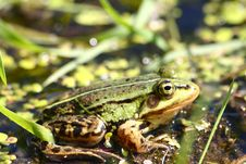 Free The Green Frog Sits In Water In The Afternoon Stock Photos - 5102043