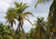 Free Palms Against Sky Royalty Free Stock Images - 5102069