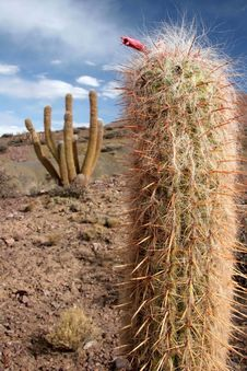 Free Rocky Grounds With Cacti Royalty Free Stock Photo - 5102245