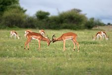 Antelope Fight Royalty Free Stock Photos