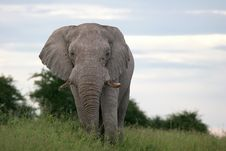 Free Male Elephant In Grass Stock Image - 5102281