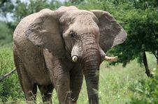 Free Male Elephant Stock Photos - 5102283